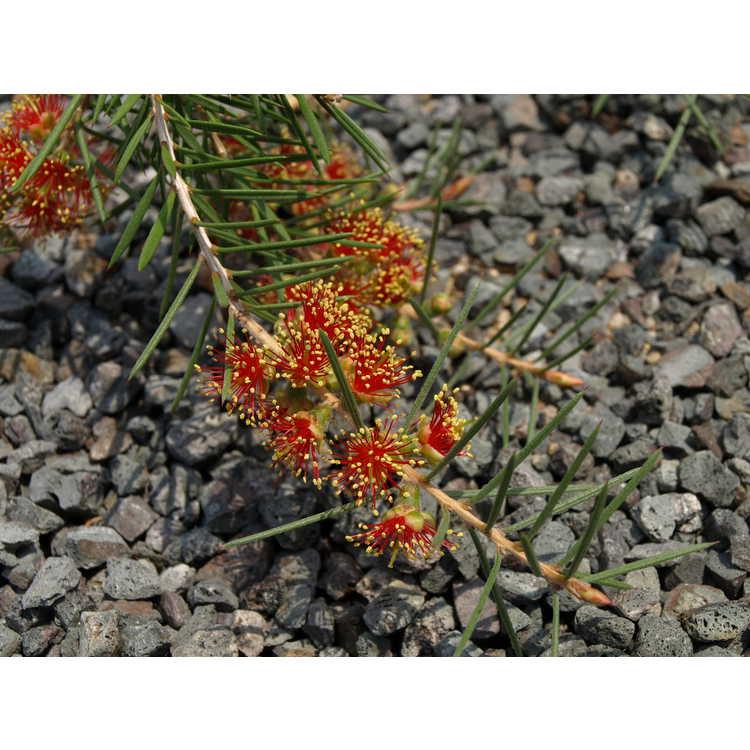 Callistemon brachyandrus - prickly bottlebrush