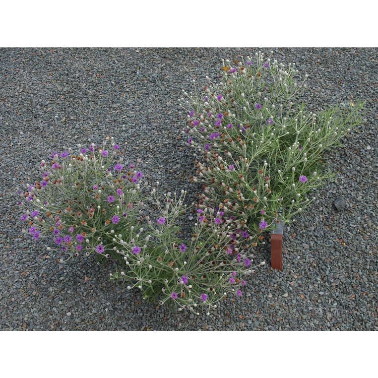 Vernonia lindheimeri