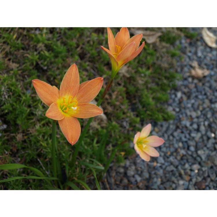Zephyranthes 'Java'