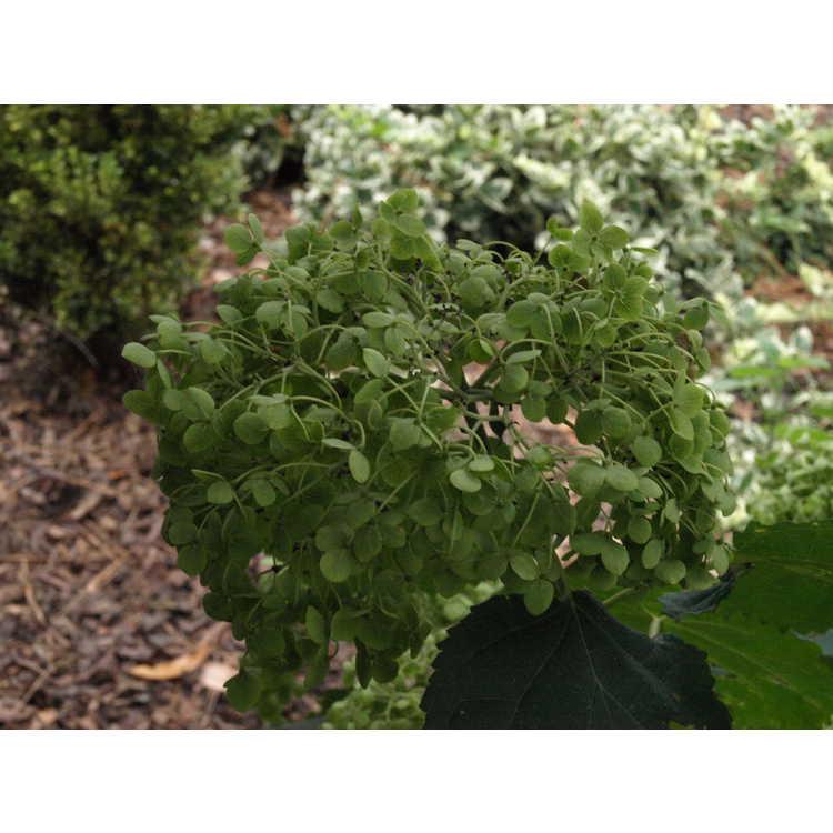 Hydrangea arborescens 'Balsam' - mophead smooth hydrangea