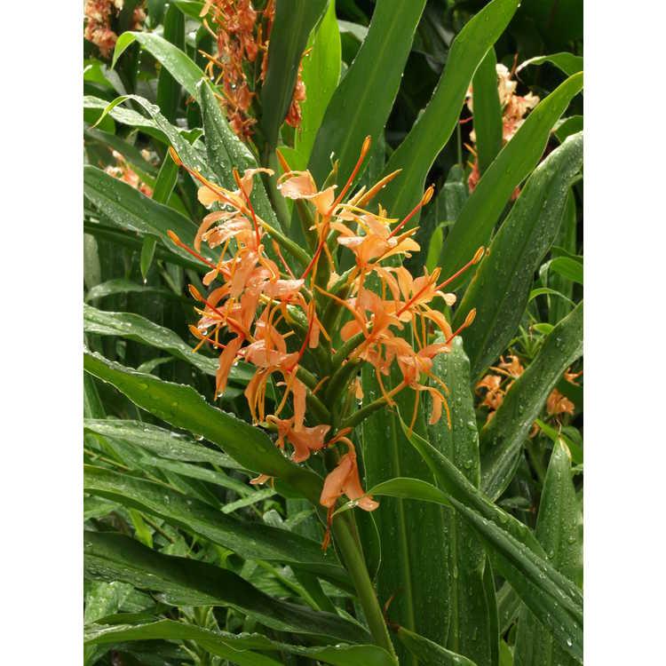 Hedychium 'Orange Crush' - hardy ginger-lily