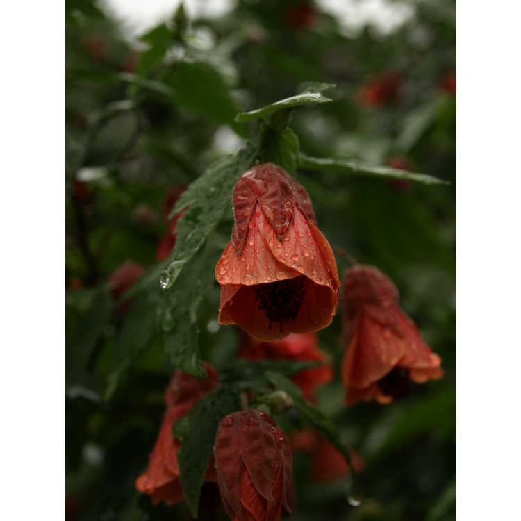 Abutilon (Chinese red)