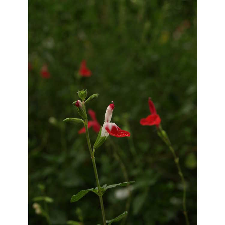 Salvia microphylla 'Hot Lips' - bicolor baby sage