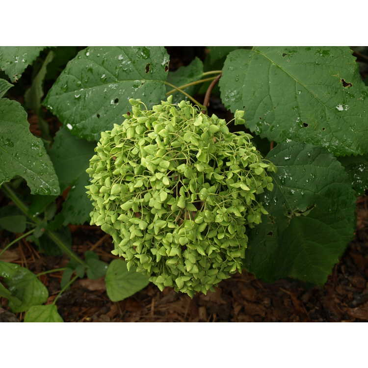 Hydrangea arborescens 'Balsam'