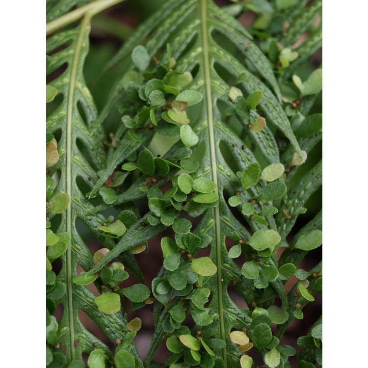 Woodwardia orientalis - Oriental chain fern