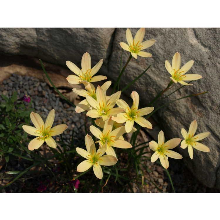 Zephyranthes Bangkok Yellow