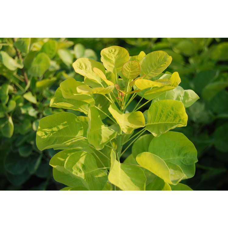 Cotinus-coggygria-Ancot-Golden-Spirit-tm-010-Commercial-Nursery-9-16-08.JPG