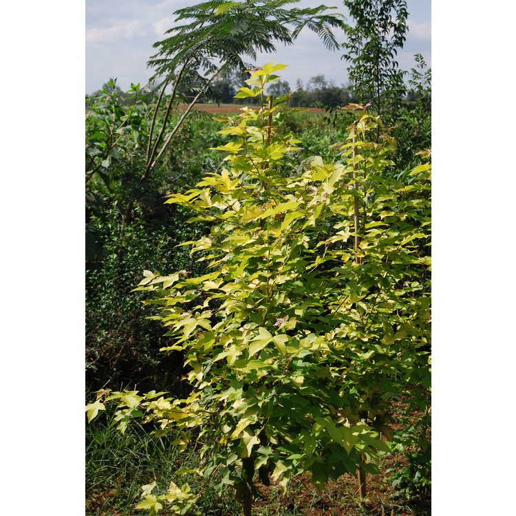 Liquidambar-orientalis-gold-form-001-Shadow-Nursery-9-16-08.JPG