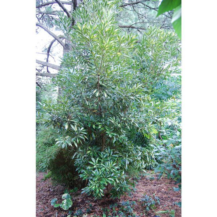 Lithocarpus edulis 'Starburst'