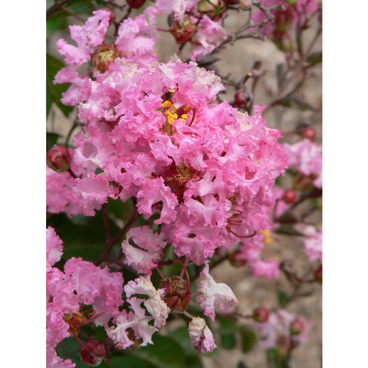 Lagerstroemia indica 'Whit VIII' - Rhapsody in Pink crepe myrtle