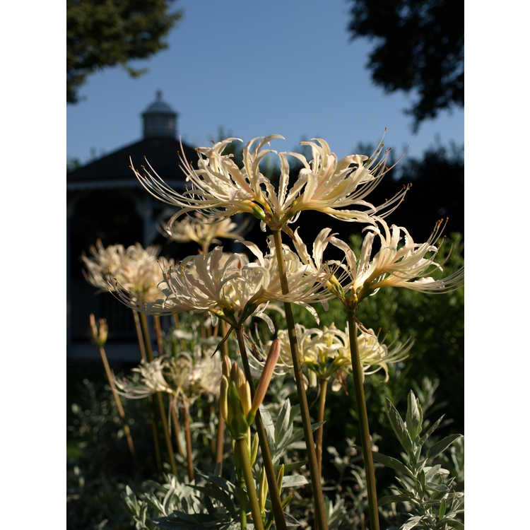 Lycoris albiflora - white surprise-lily