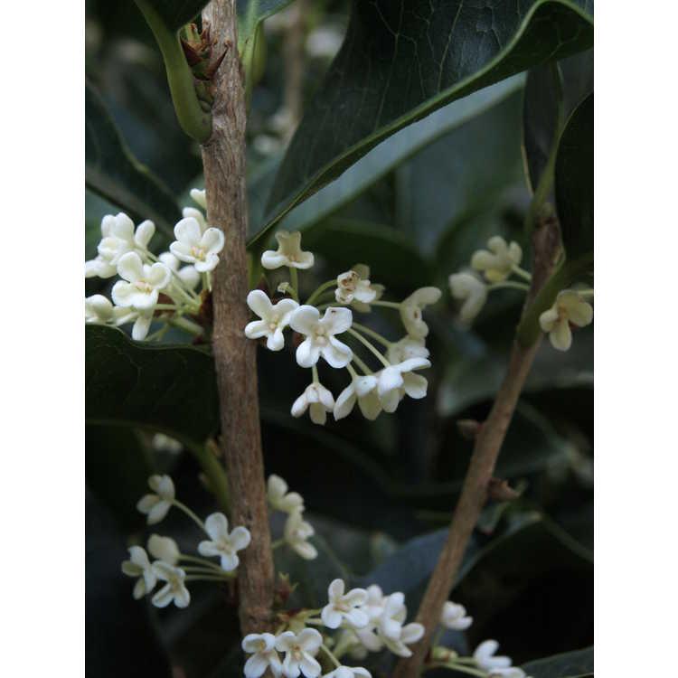 Osmanthus fragrans Fudingzhu