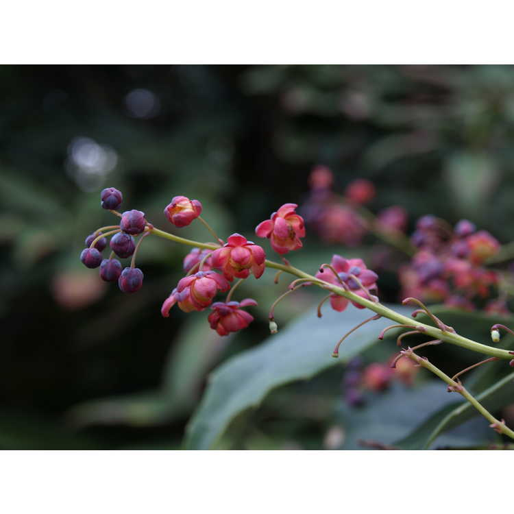 Mahonia gracilipes - red-flowered mahonia