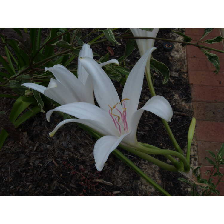 Crinum 'Carolina Beauty' - crinum-lily