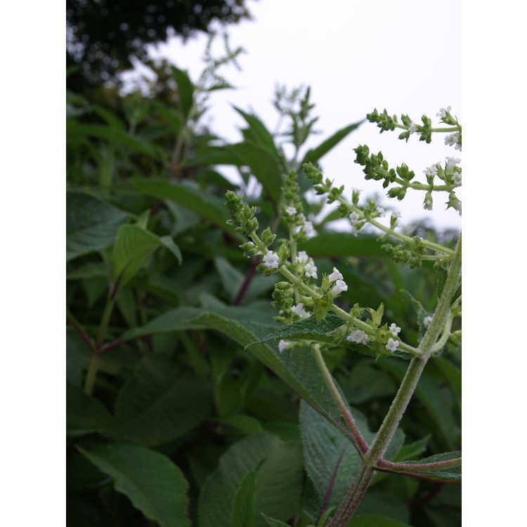 Lepechinia graveolens - Bolivian pitchersage
