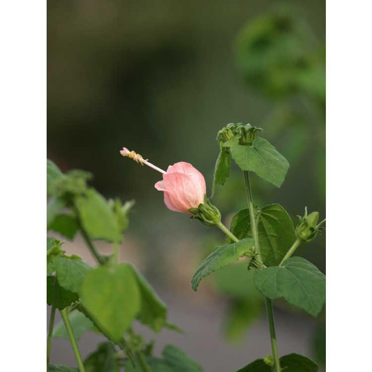 Malvaviscus arboreus var. drummondii 'Pam Puryear' - pink Turk's cap