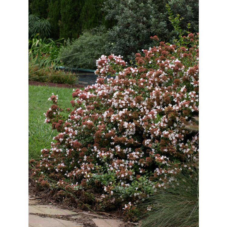 Abelia ×grandiflora 'Rose Creek'