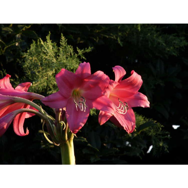 Crinum 'Elizabeth Traub' - crinum-lily