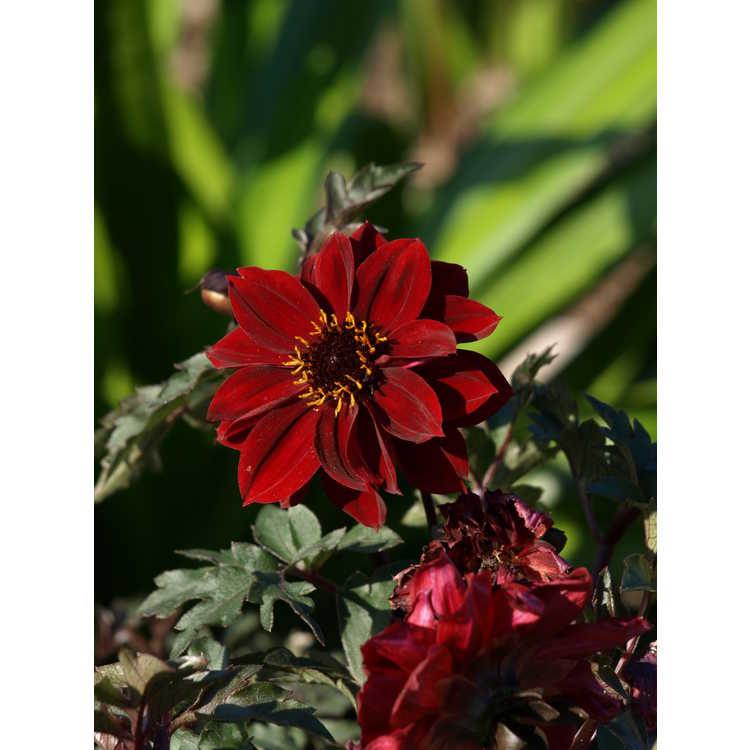 Dahlia 'Bishop of Llandaff' - garden dahlia