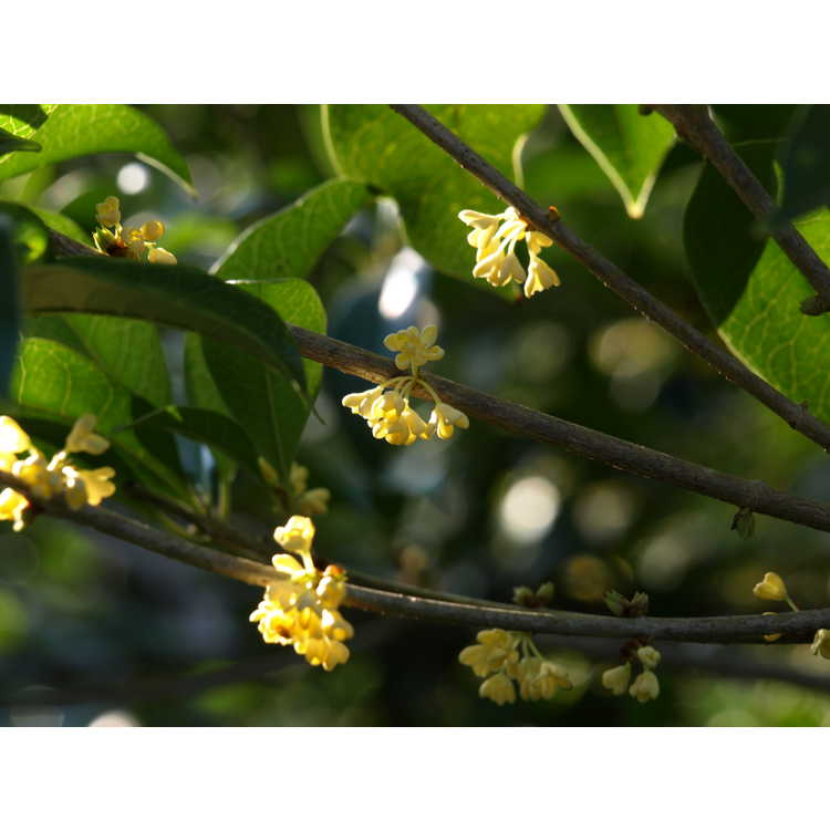 Osmanthus fragrans thunbergii