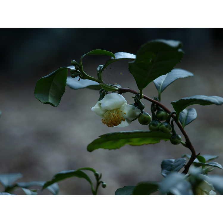 Camellia sinensis 'Unryu' - tea