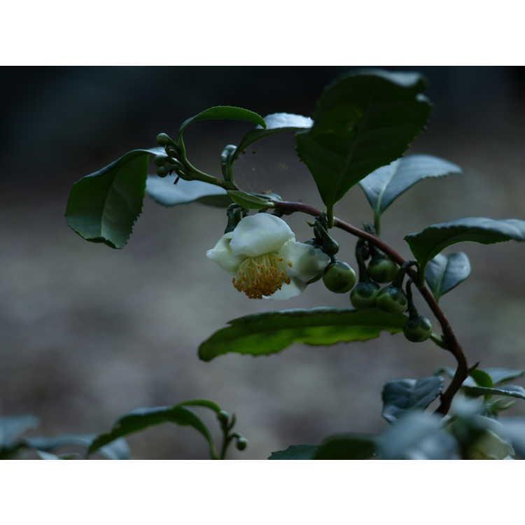 Camellia sinensis Unryu