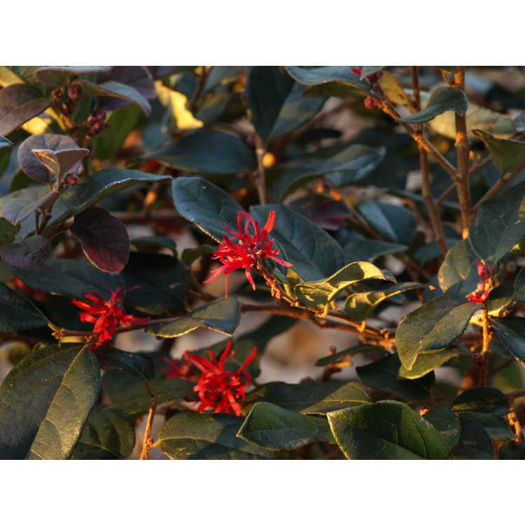 Loropetalum chinense var. rubrum 'Chang Nian Hong' - Ever Red purple-leaf loropetalum