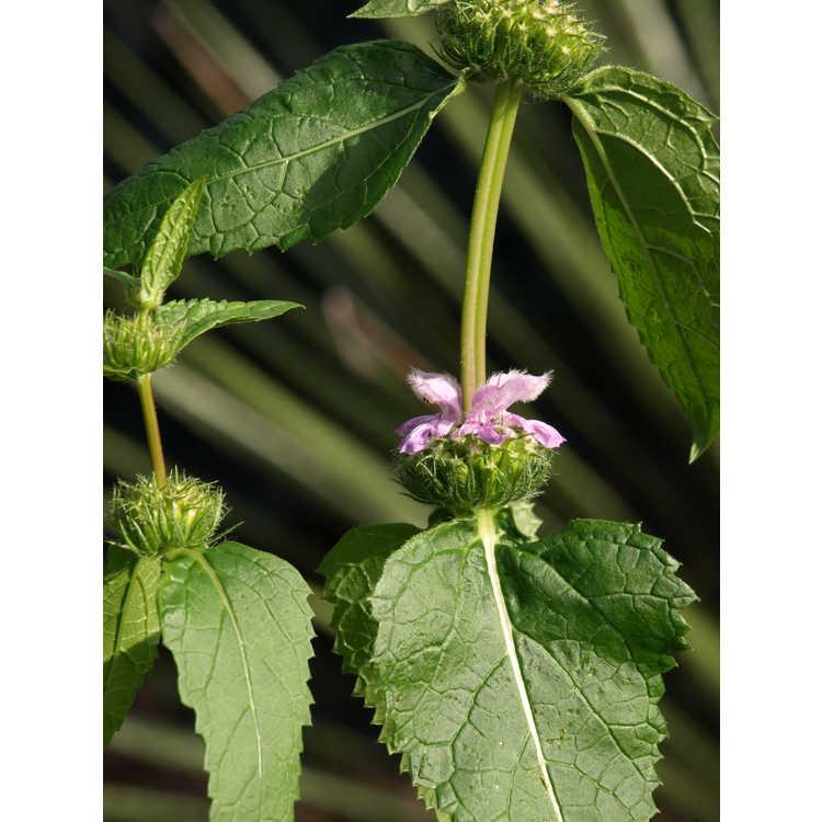 Phlomoides maximowiczii