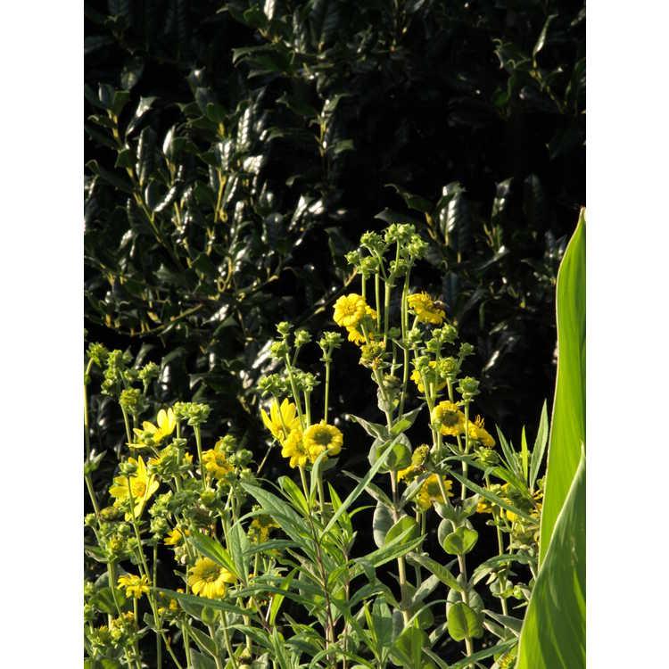 Silphium gracile