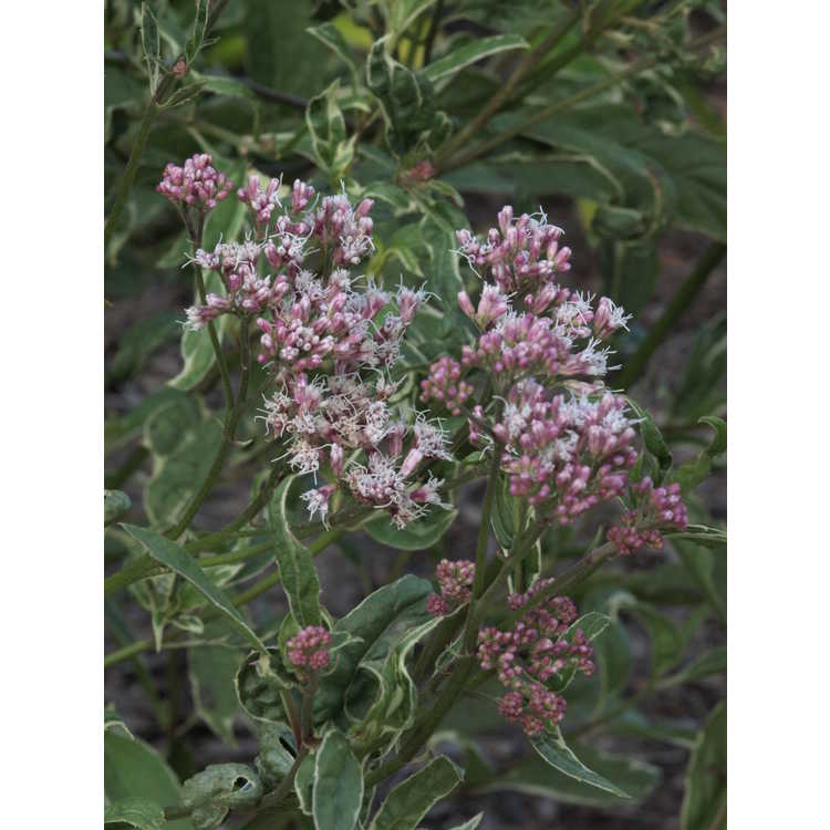 Eupatorium fortunei 'Pink Frost' - variegated Chinese eupatorium