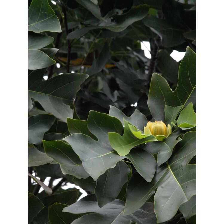 Liriodendron chinense J. C. Raulston