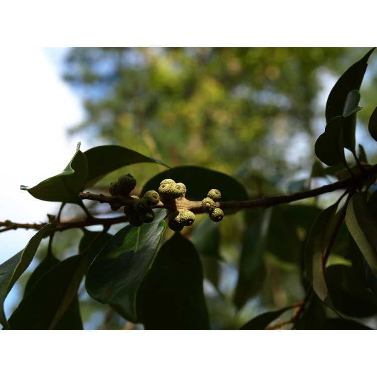 Lithocarpus glaber - smooth tan-bark oak