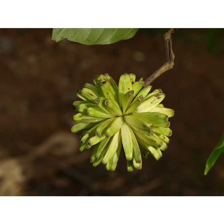 Camptotheca acuminata - happy tree