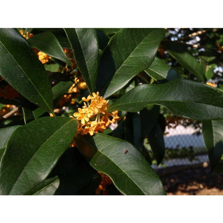 Osmanthus fragrans aurantiacus Apricot Gold