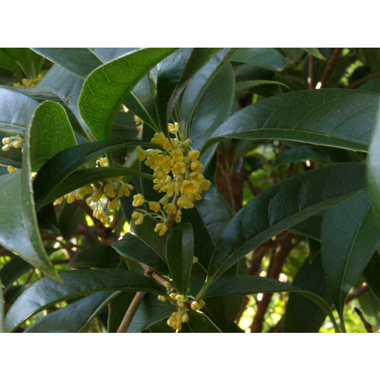 Osmanthus fragrans f. aurantiacus 'Conger Yellow'