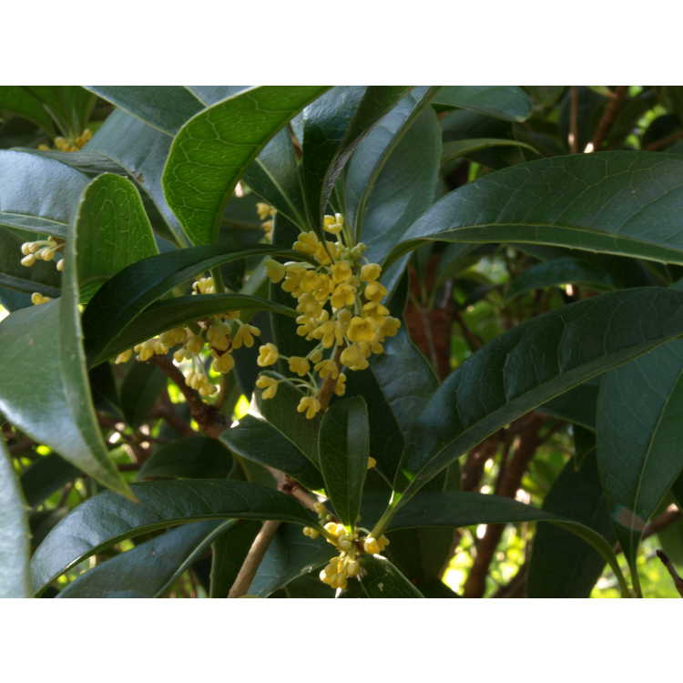 Osmanthus fragrans f. aurantiacus 'Butter Yellow' - yellow sweet-olive