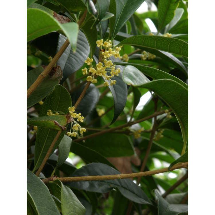 Osmanthus fragrans aurantiacus Live Oak Gold