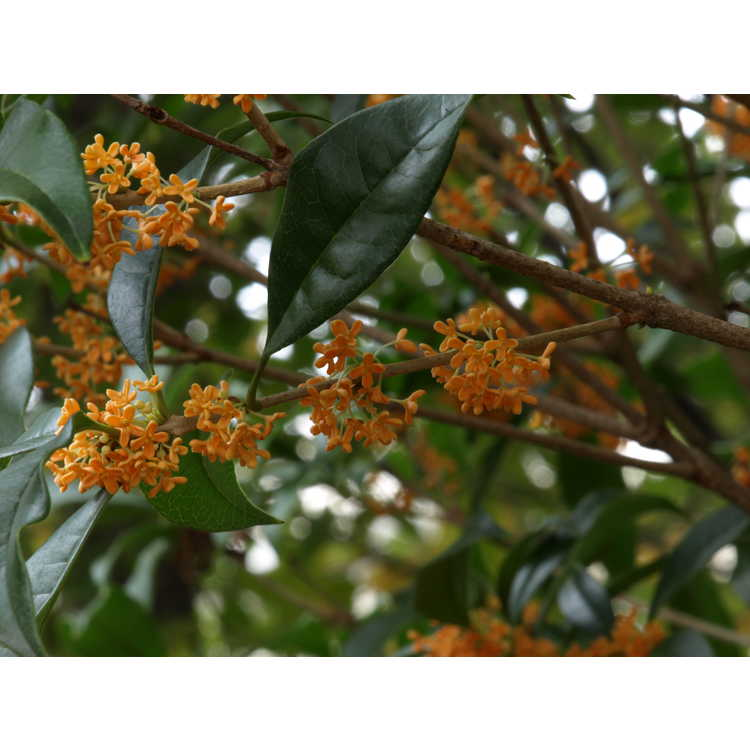Osmanthus fragrans f. aurantiacus 'Apricot Gold' - golden sweet-olive