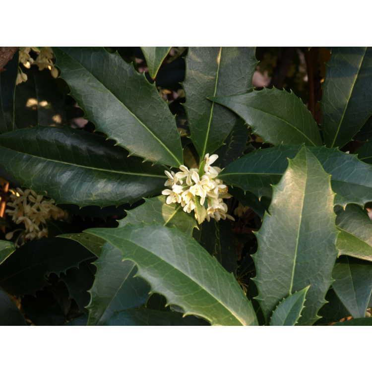 Osmanthus fortunei Fruitlandii