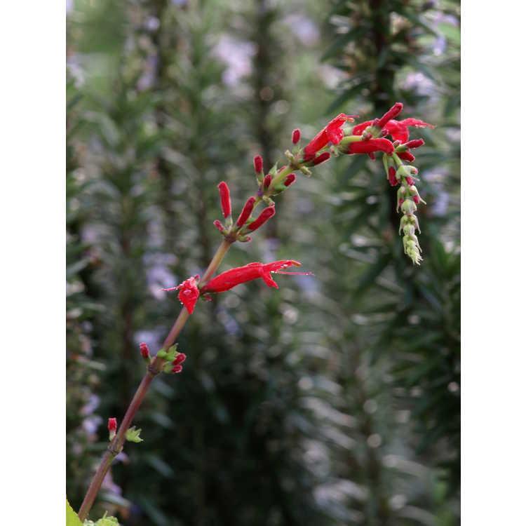 Salvia elegans 'Golden Delicious' - golden pineapple sage