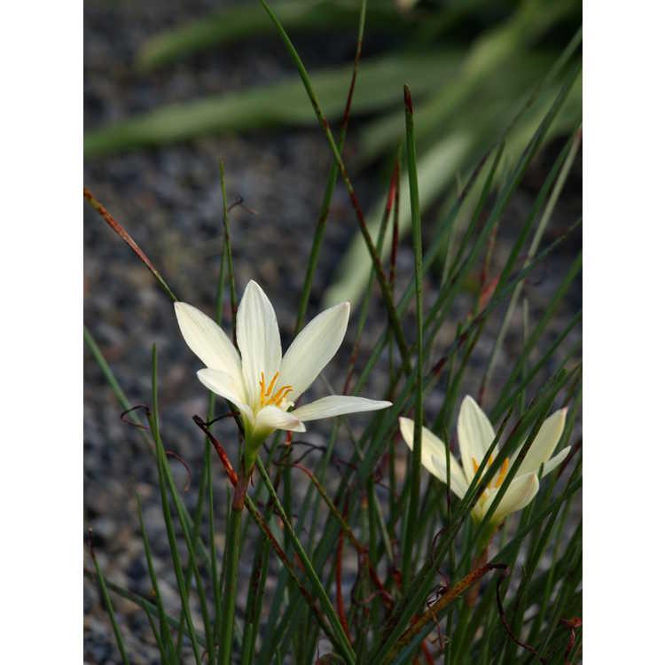Zephyranthes 'Bangkok Yellow'