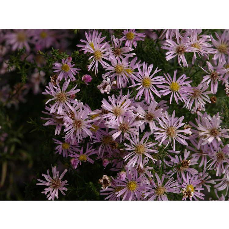 Symphyotrichum ericoides 'Pink Star' - pink heath aster
