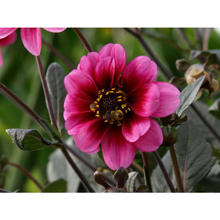 Dahlia 'Classic Giselle' - garden dahlia