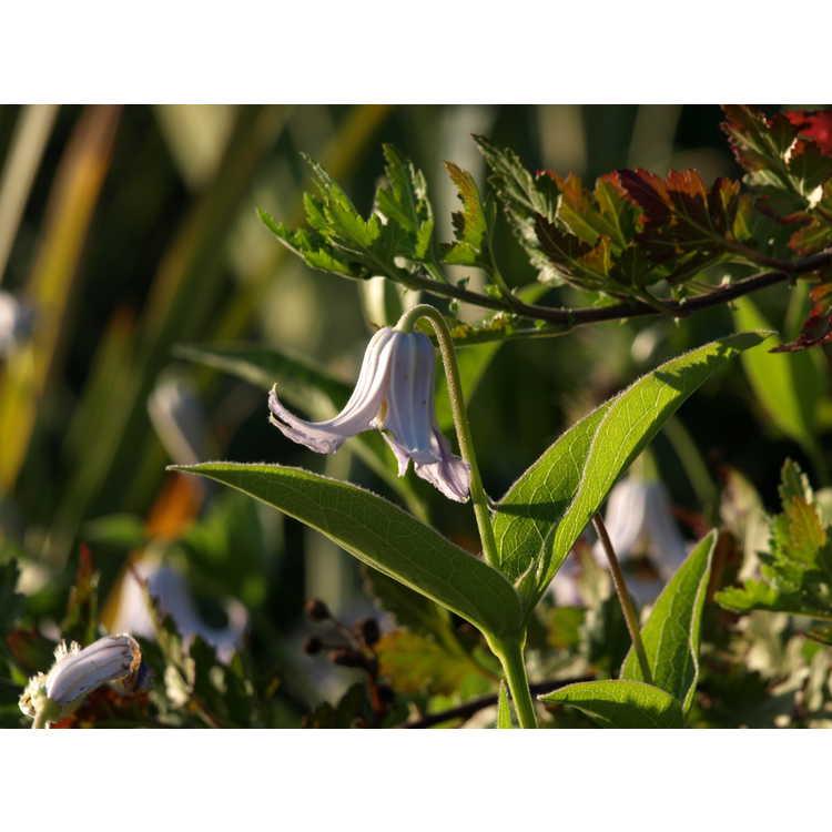 Clematis integrifolia 'Alba' - solitary clematis