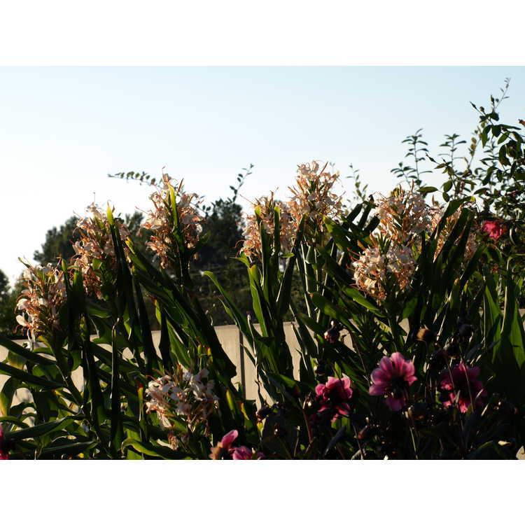 Hedychium 'Tai Conch Pink'