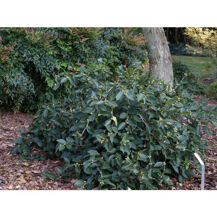 Camellia (oleifera hybrid, weeping)