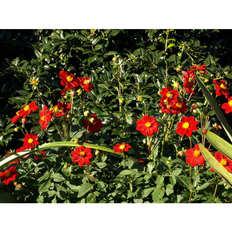 Dahlia 'Roodkapje' - garden dahlia