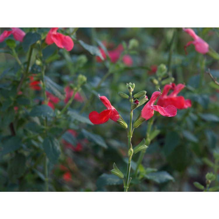 Salvia microphylla 'Zaragoza'