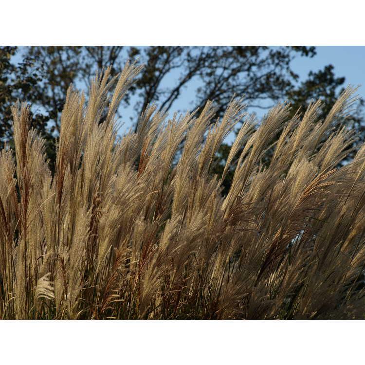 Miscanthus sinensis 'Adagio' - compact maiden grass