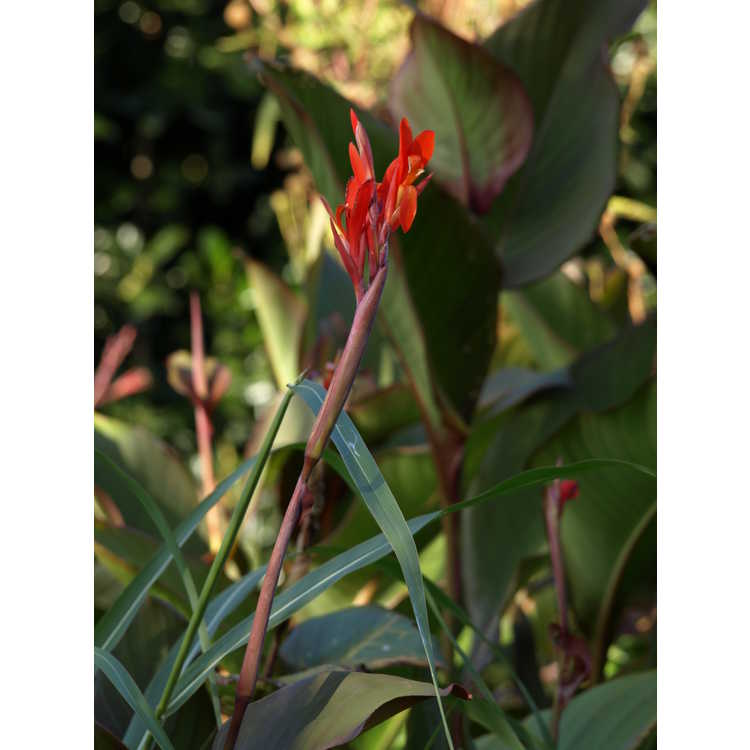 Canna indica Red Stripe